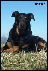Balkane, chien Beauceron