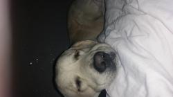 Baloo, chien Golden Retriever