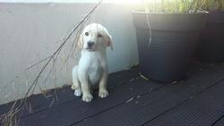 Baloo, chien Labrador Retriever