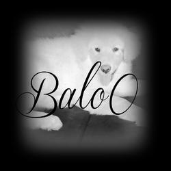 Baloo, chien Berger polonais de Podhale