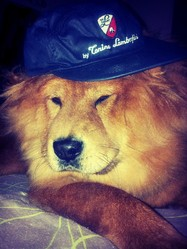 Baloo, chien Chow-Chow