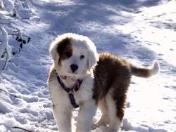 Baloo, chien Bouvier bernois