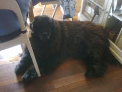 Baloo Décédé, chien Terre-Neuve