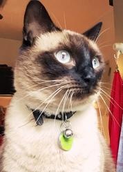 Baloo, chat Siamois