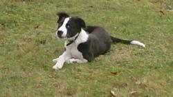Balou, chien Border Collie