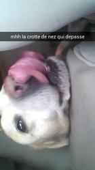 Balou, chien Labrador Retriever