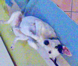 Balou, chien Jack Russell Terrier