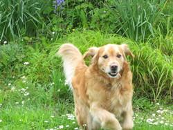 Balou, chien Golden Retriever