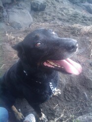 Balou, chien Beauceron