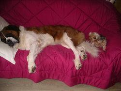Balou, chien Saint-Bernard