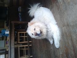Balou, chien Chow-Chow