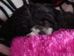 Balou, chien Lhassa Apso