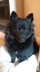 Balou, chien Spitz allemand