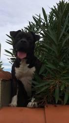 Balou, chien