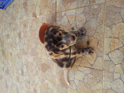 Balou , chien