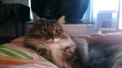 Balouse, chat Européen