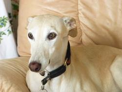 Balta, chien Lévrier espagnol