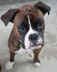 Balthazar, chien Boxer