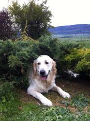 Baltik, chien Golden Retriever