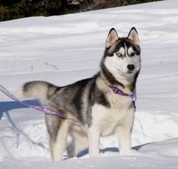 Baltik, chien Husky sibérien