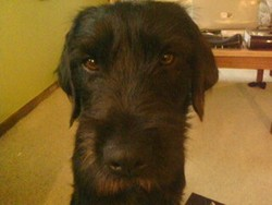 Balto, chien