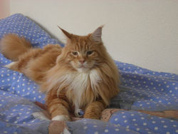Balto, chat Maine Coon