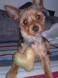 Balto, chien Pinscher