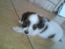 Balto, chien Labrador Retriever