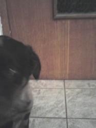 Balto, chien Beauceron