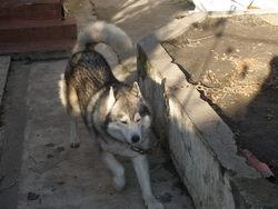 Balto, chien Malamute de l'Alaska