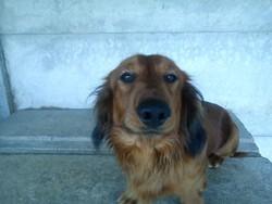 Balto, chien Teckel