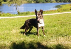 Balto, chien Border Collie