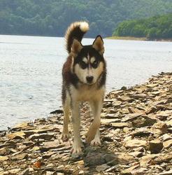 Balto, chien Husky sibérien