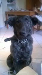 Balto, chien Berger belge