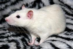 Ind Balto, rongeur Rat