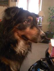 Balto, chien Berger australien