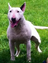 Baltos, chien Bull Terrier