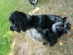 Baltus, chien Cocker anglais