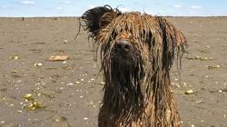 Baly, chien Berger des Pyrénées