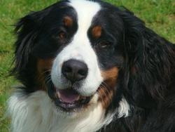 Balzane, chien Bouvier bernois