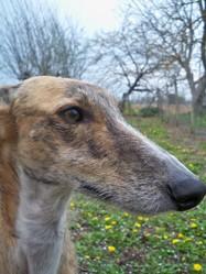 Bambi, chien Lévrier espagnol