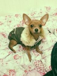 Bambi, chien Chihuahua