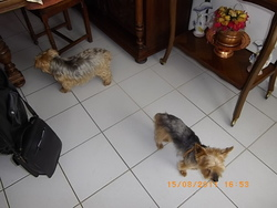 Bambino, chien Yorkshire Terrier