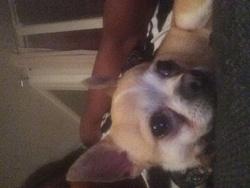 Bambino, chien Chihuahua