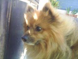 Bambino, chien Spitz allemand