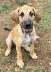 Bambou, chien Chihuahua