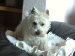 Bambou, chien West Highland White Terrier