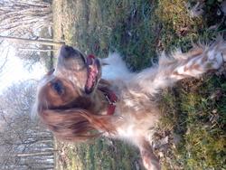 Bambou, chien Épagneul breton