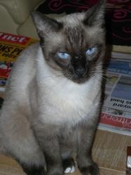 Bambou, chat Siamois