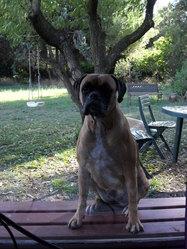Bambou, chien Boxer